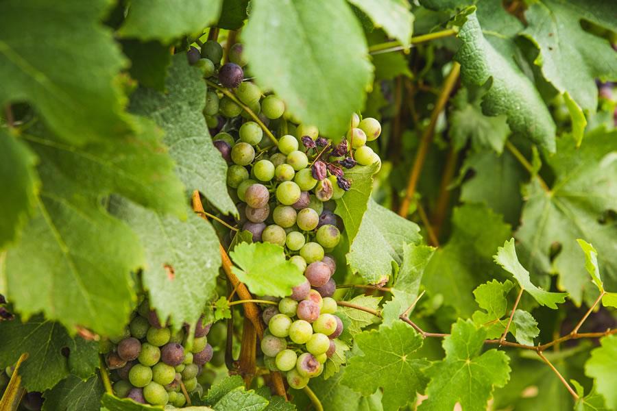 vitigno-roero